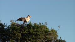 Pair of Secretary birds fly off nest