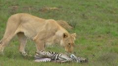 Lioness picks up zebra foal