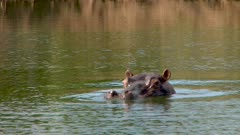 Hippo in water, goes under, wiggles ears
