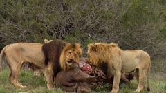 3 lions feeding on hippo carcass