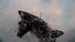 Vertical Great White Shark Breach on Seal Decoy (Seal cam)