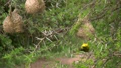 Male weaver bird on nest, demonstrating to female