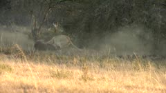 Lioness takes down waterbuck