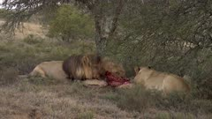 Lions fight over waterbuck carcass, male chases female away