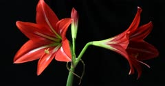 Plant flower opening timelapse of an Amaryllis (Hippeastrum sp.) blooming with a clear view of the plant reproductive organs including the stamen and pistil.  Amaryllis is the only genus in the subtribe Amaryllidinae.