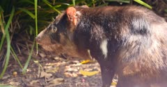 Tasmanian devil (Sarcophilus harrisii) is a carnivorous marsupial of the family Dasyuridae, now found in the wild only on the Australian island state of Tasmania.