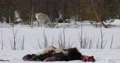 Wild wolf approaching a moose carcass in the snow in open area along the forest, Finland