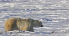 Mother polar bear walking with her two cubs, just around denning area