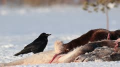 Wolverine eating on a moose carcass, Finland