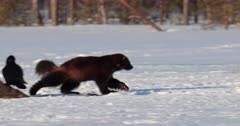 Wolverine leaving the place where eating on a moose carcass, Finland