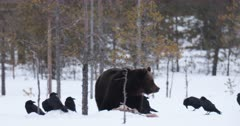 A male brown bear eating a carcass in the snow, surrounded by ravens, Finland.