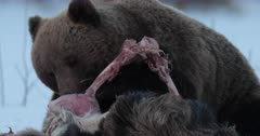Male Brown bear eating a dead moose in Finland