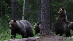 Bron bear female with 3 cubs looking for food in the boreal forest, in finland.