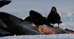 Ravens on a moose carcass, in the snow in spring, Finland.