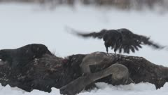 A raven arriving on a moose carcass, snowfall, Finland.
