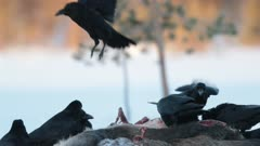 A group of ravens on a moose carcass, Finland.