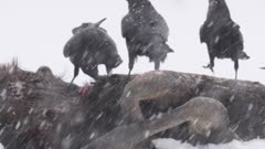 Finland birds : Ravens eating on a moose carcass when snowing