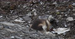 Arctic fox, molting from winter to summer, eating a Kittiwake, Svalbard