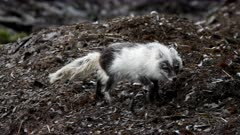Arctic fox, molting from winter to summer, marks its territory, Svalbard