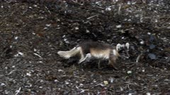 Arctic fox, molting from winter to summer, running, Svalbard