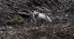 Arctic fox, molting from winter to summer, licking food, Svalbard