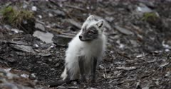 Arctic fox, molting from winter to summer, looking at Kittiwakes, Svalbard