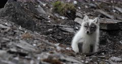 Arctic fox, molting from winter to summer, looking over its head, surveys its neighbourhoods, Svalbard