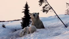 Polar bear female just outside its den with cubs fighting, Churchill area, Canada