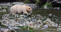 Kermode bear eating a salmon in the river, BC, Canada