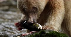Kermode bear taking again a salmon in the river and eating it, BC, Canada