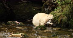 Kermode bear catching a salmon in the riverbank, BC, Canada