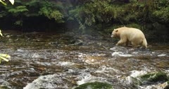 Kermode bear walking along the river in a nice light, BC, Canada