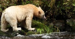 Kermode bear snorting and going into the forest, BC, Canada