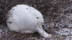 Arctic hare in winter environment, Canada