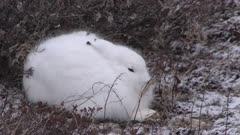 Arctic hare in winter environment, waiting in the wind, Canada