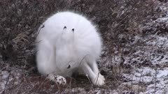Arctic hare, licking, in winter environment, Canada