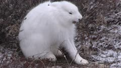 Arctic hare in winter environment, stretching and yawning, Canada