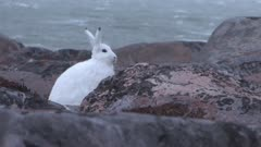 Arctic hare braving the wind along the Hudson bay, Canada