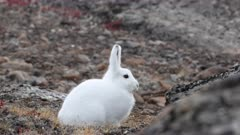 Arctic hare resting, east Greenland