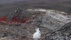 Arctic hare watching around, east Greenland