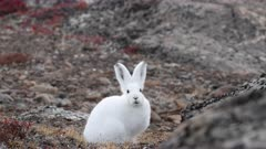 Arctic hare eating and resting, east Greenland