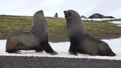 Antarctic fur seal fighting