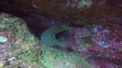 Panamic Green Moray