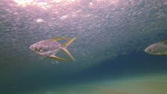 Gafftopsail Pompano and sardines