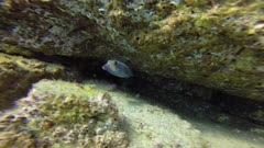 Juvenile Spotted Boxfish