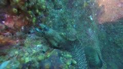 Jewel moray feeding