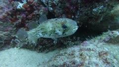 Ballonfish