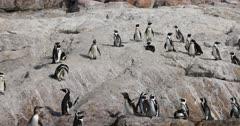 African Penguin , Jackass penguin