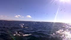 Sardine Run action Brydes Whale going though baitball