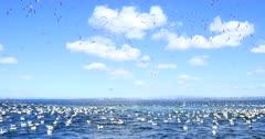 Gannets Diving, Sardine Run